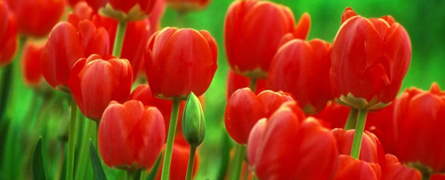 Close-up of red tulips