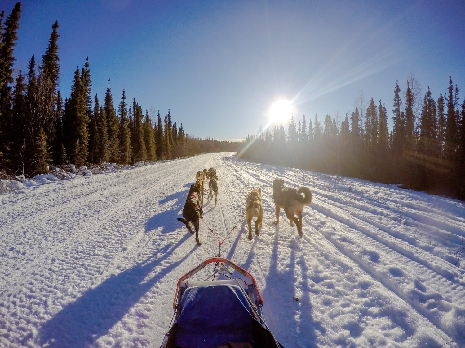 dog sled race